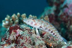 BD-130709-Maldives-9800-Parapercis-millepunctata-(Günther.-1860)-[Blackdotted-sandperch].jpg